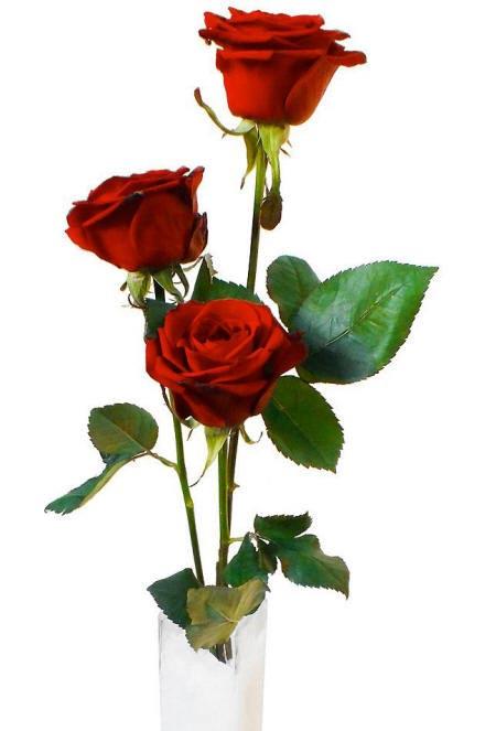 три красные розы