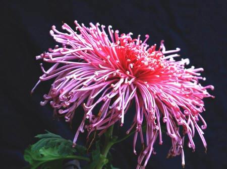 фотография хризантемы