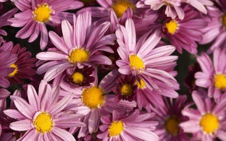хризантемы гебе