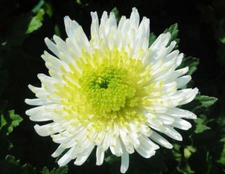 Красивая картинка хризантемы