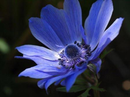 синий анемон