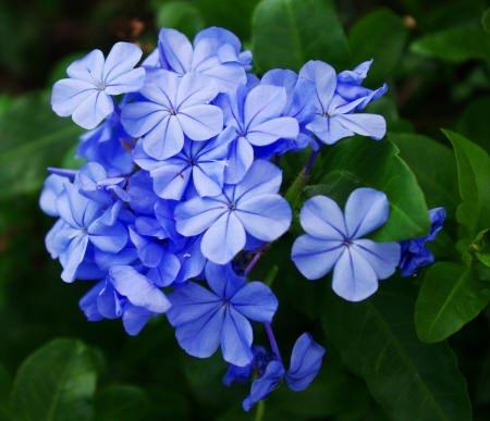 синие цветы плюмбаго
