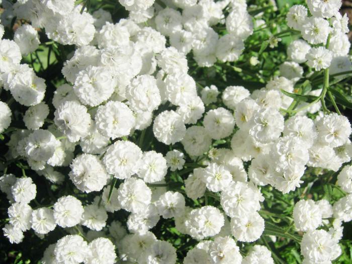 Садовые цветы фото с названиями Фотографии садовых