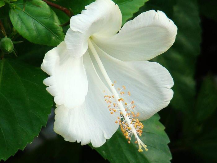 белый цветок гибискуса