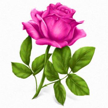 рисунок розовой розы