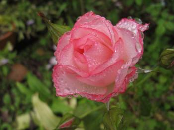 Тугие и распустившиеся бутоны роз в
