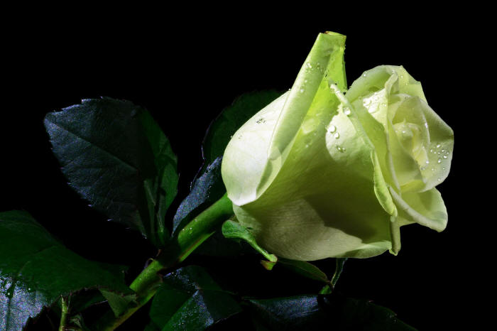 красивая зеленая роза