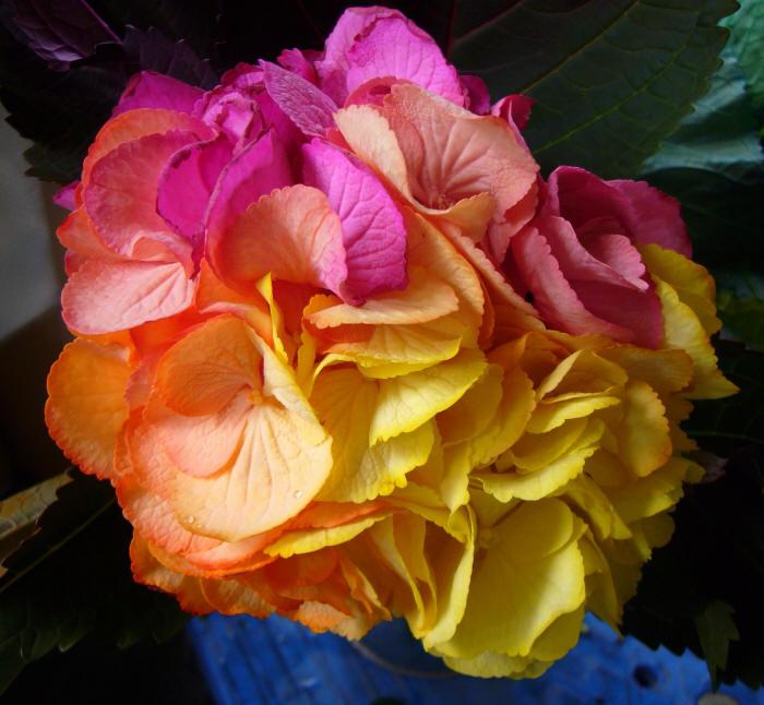 разноцветная гортензия