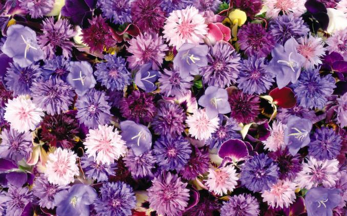 фиолетовые полевые цветы