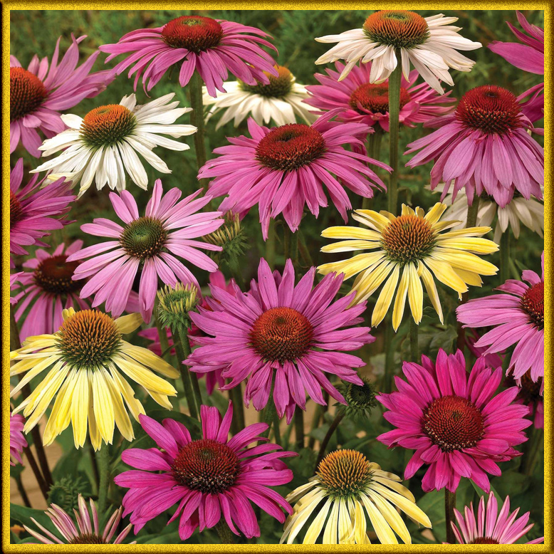 Цветы похожие на ромашки разноцветные