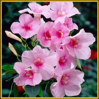 Нежные светло розовые цветы