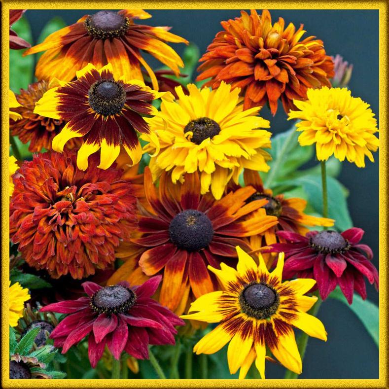 Рудбекия бывает разных цветов