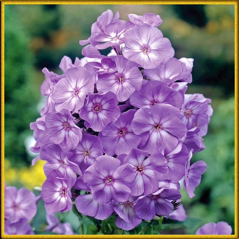 Названия фиолетовых цветов и названиями 92