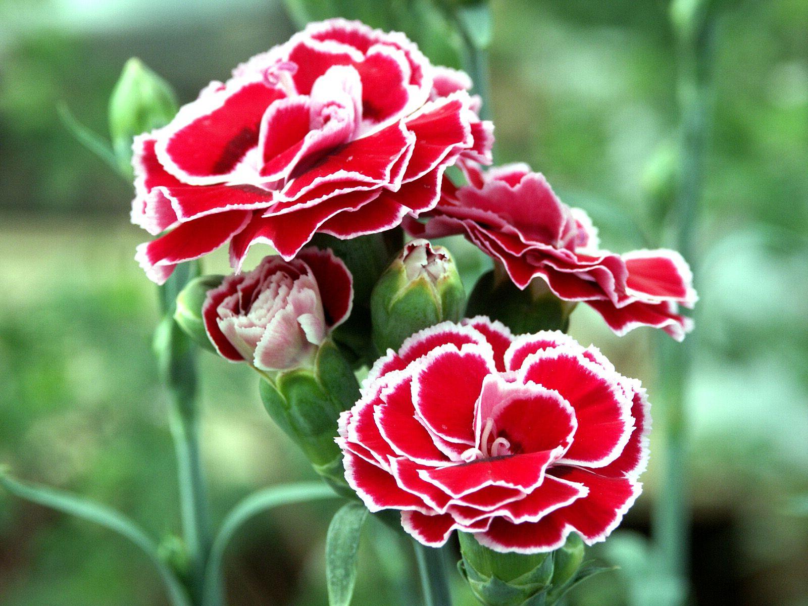 Как выглядит цветок гвоздики 176