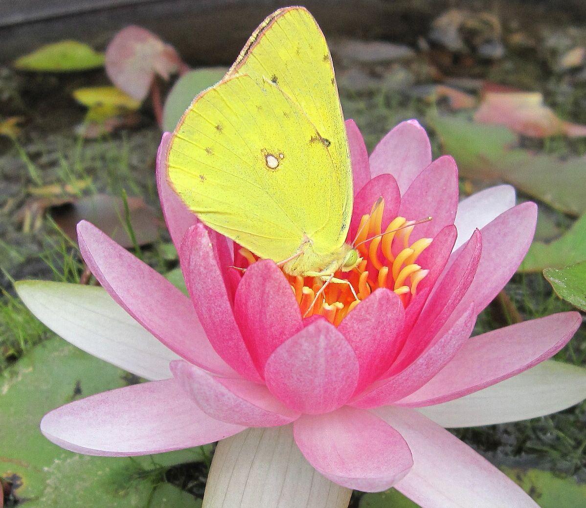 Белая бабочка на цветке фото