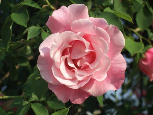 светлая розовая роза