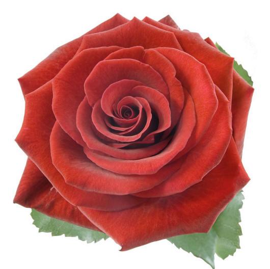 фото розы на белом фоне