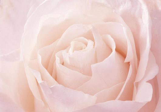 Картинки по запросу прекрасная белая роза