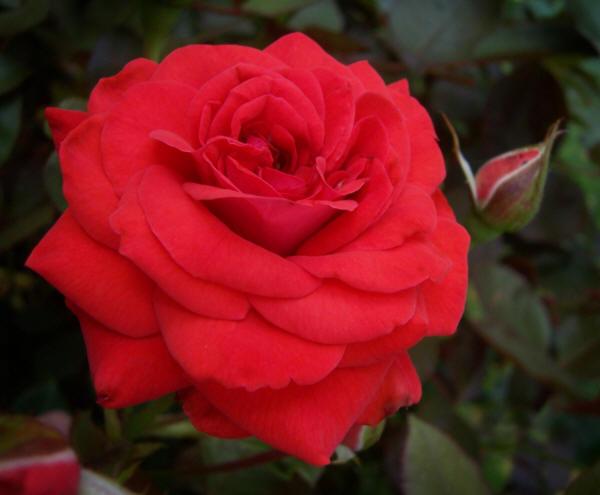 раскрывшаяся роза