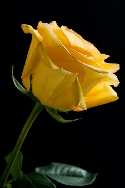 Фото желтых роз в вазе на черном фоне