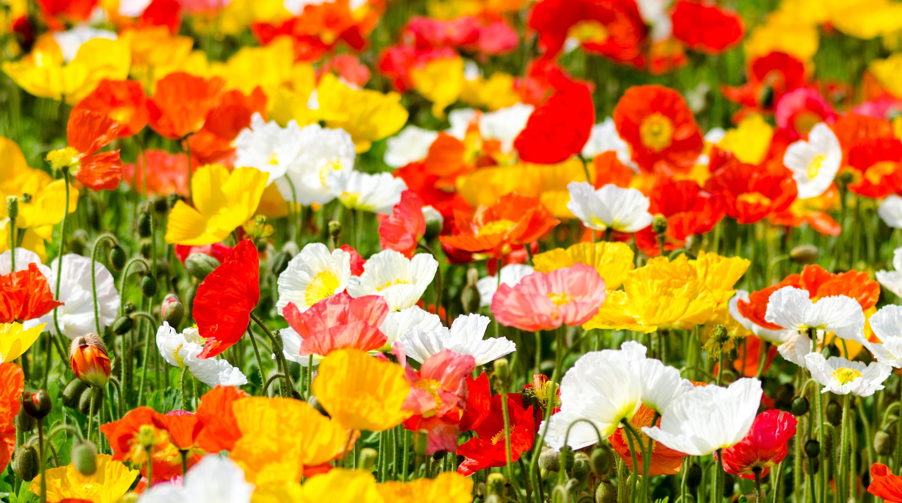 Маки разных цветов