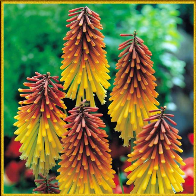 фото цветов садовых колокольчиков