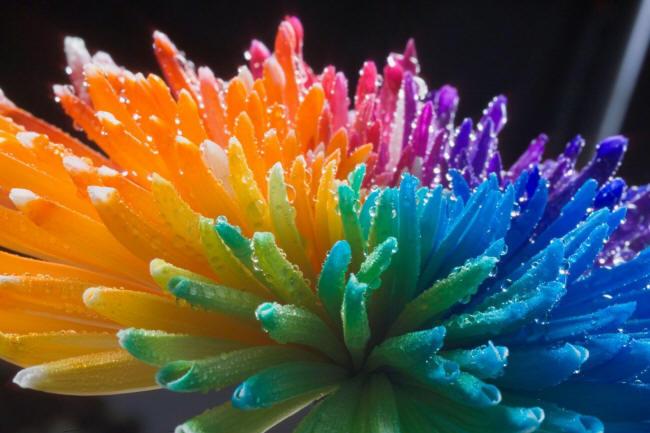 разноцветная хризантема