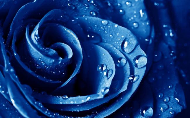 Синяя роза в капельках росы