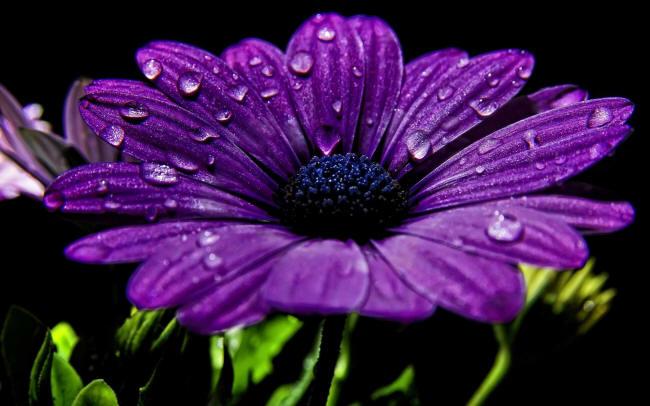 фиолетовая диморфотека