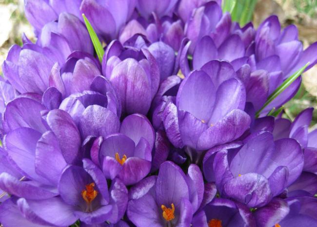 Цветок астра фото названия и описание сортов и видов