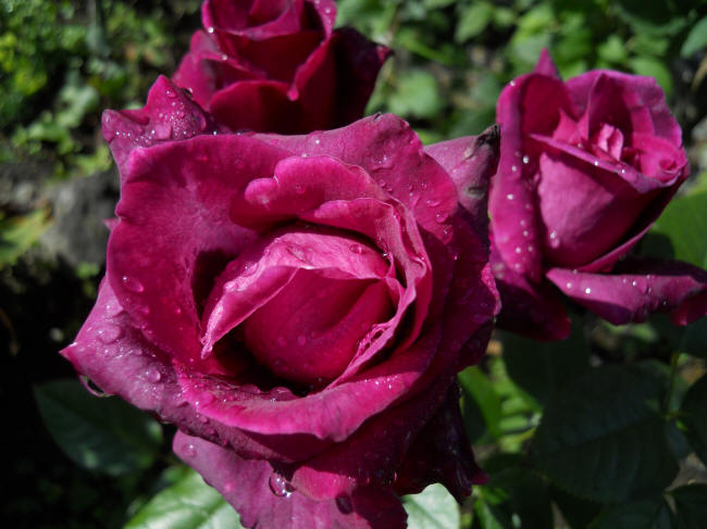 Пурпурные розы