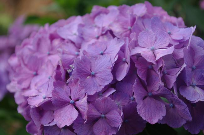 фиолетовая гортензия