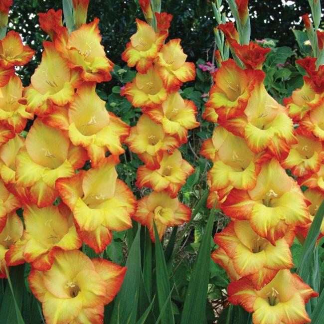 http://kartinki-cvetov.ru/pict/gladiolus3_small.jpg