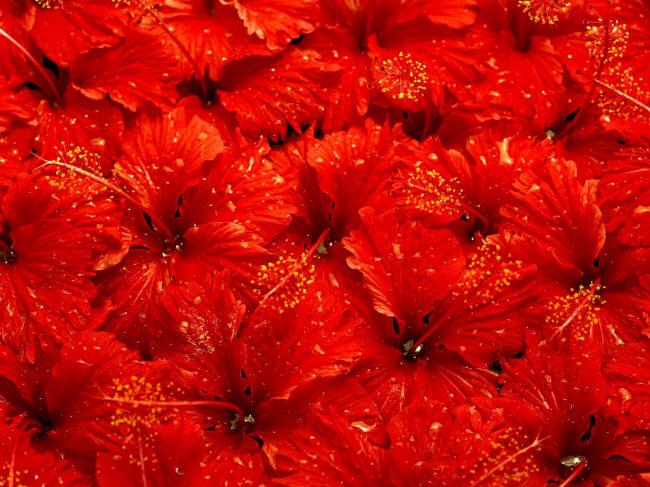 красные гибискусы