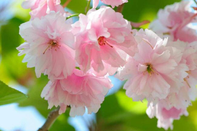 Все названия цветов розового цвета фото