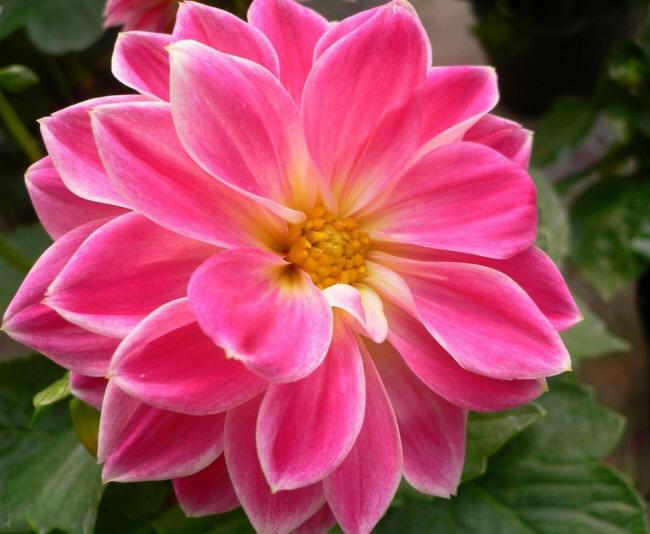 розовый георгин