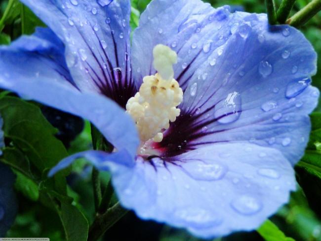 синий гибискус
