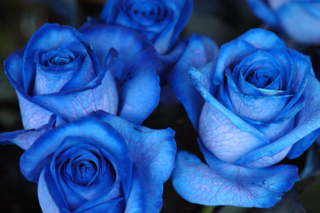 фотография синих роз