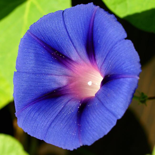 Синие цветы с названиями Фиолетовые Тюльпаны