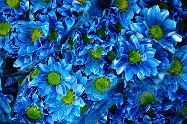 синие хризантемы