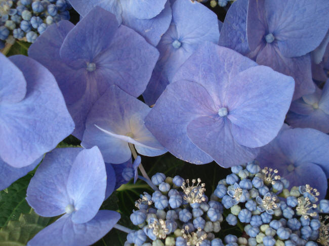 синяя гортензия
