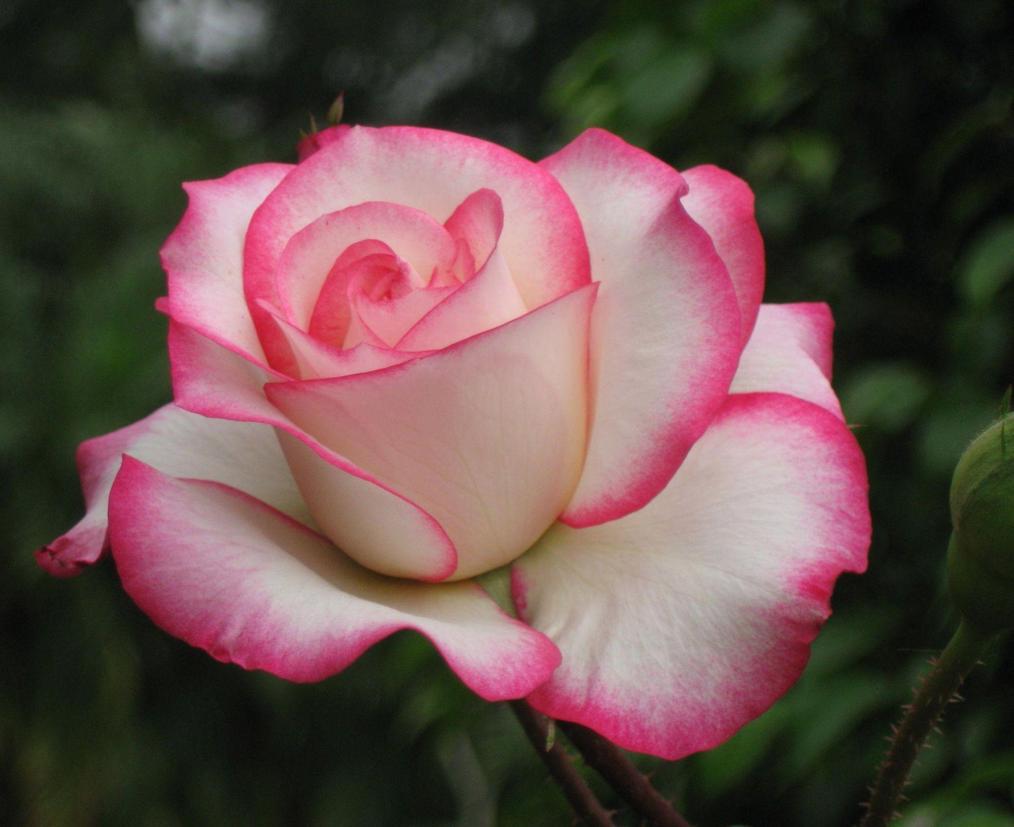 Цветы белые розы фото