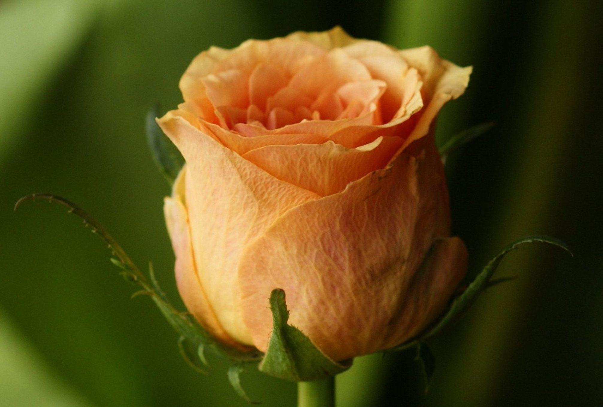 Розы на фото лучшие картинки красивых цветов роз - 2