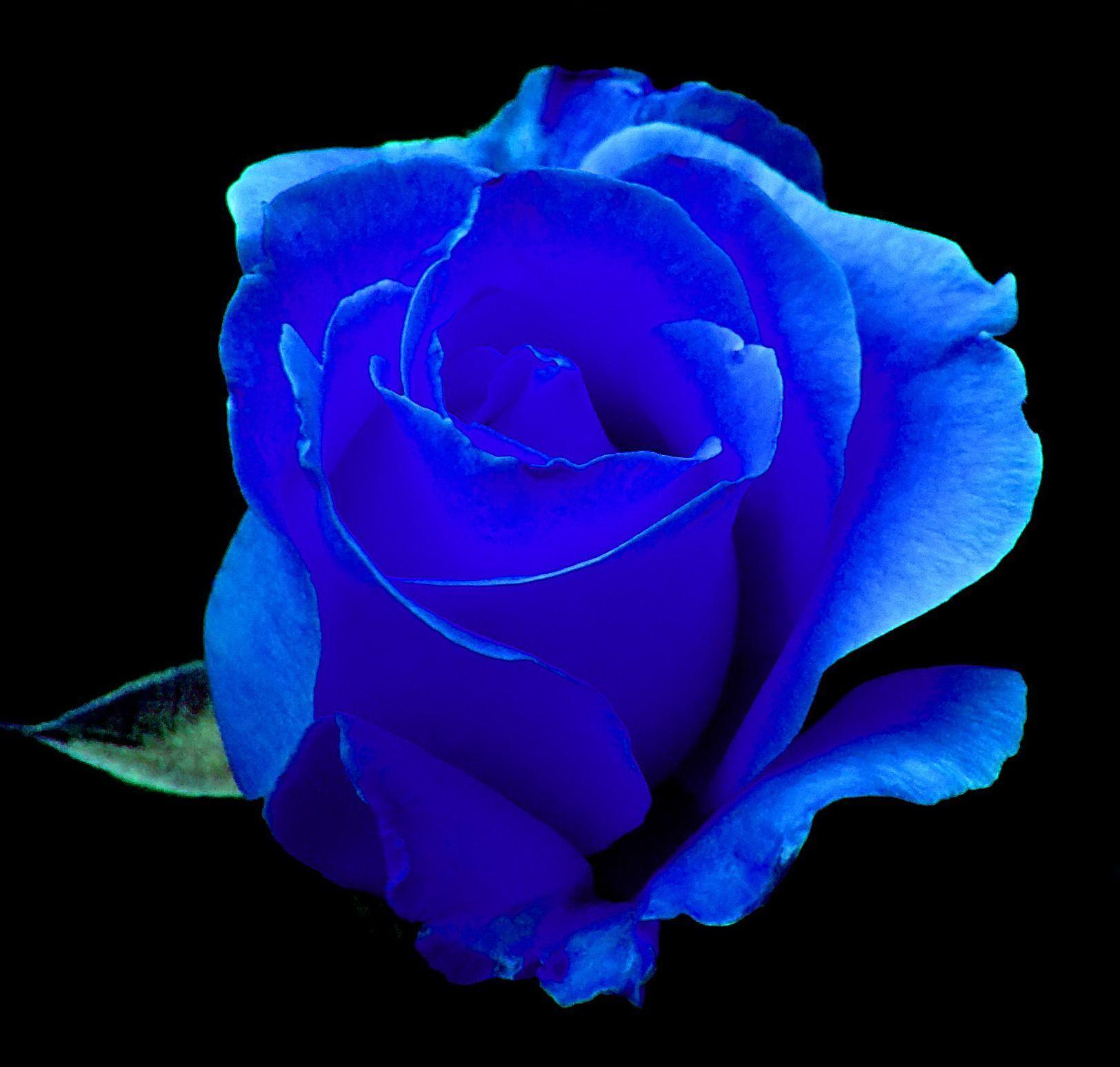Красивые синие розы фото букеты
