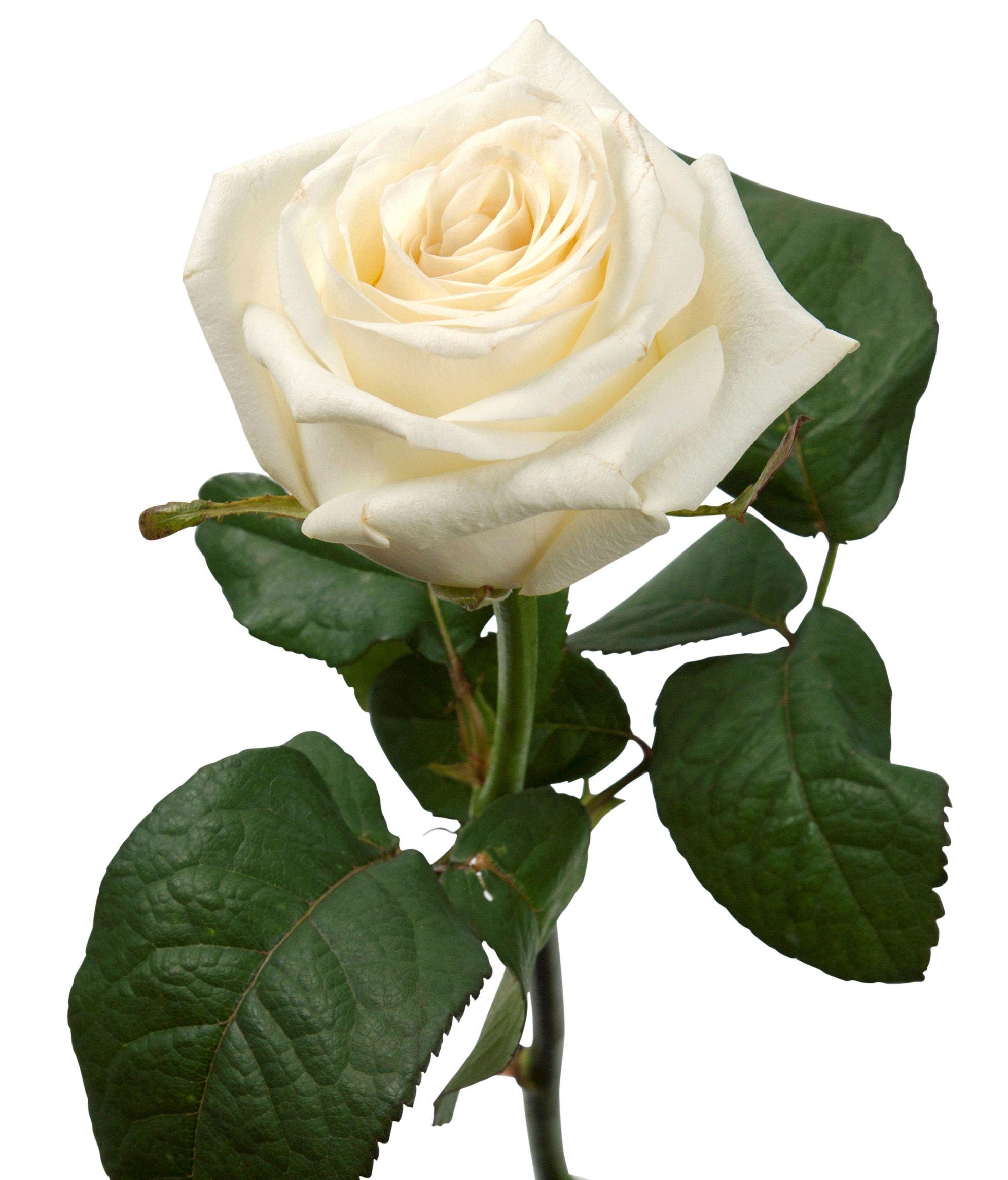 Фото девушка с белой розой позы 16 фотография