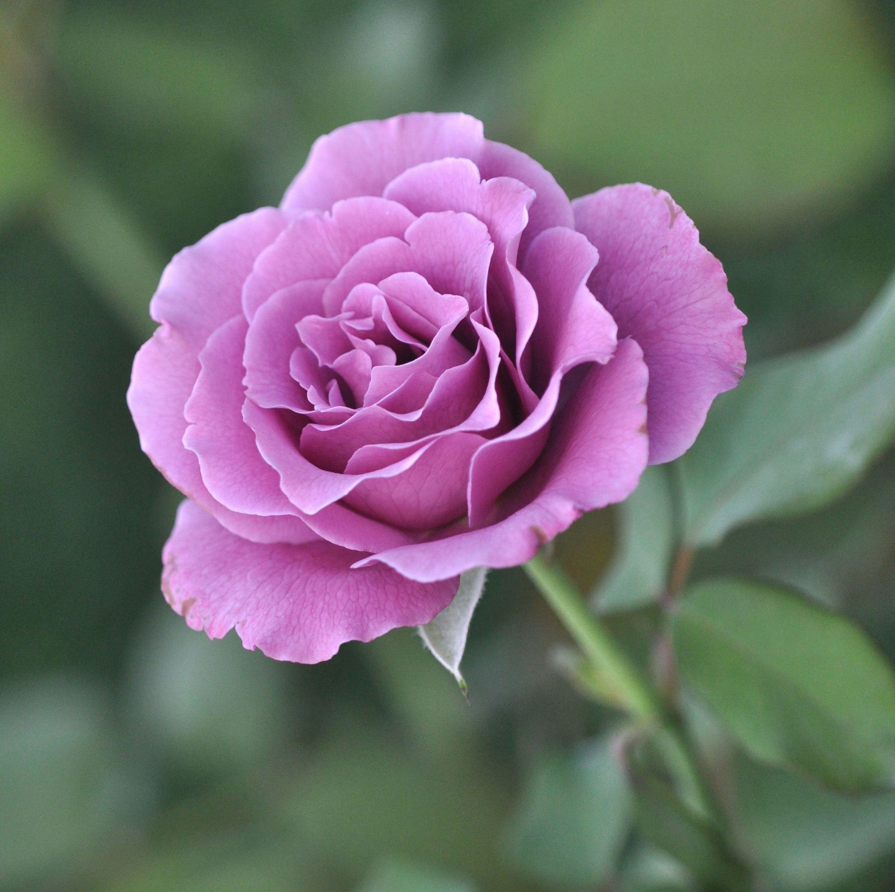 Фото букет черных роз