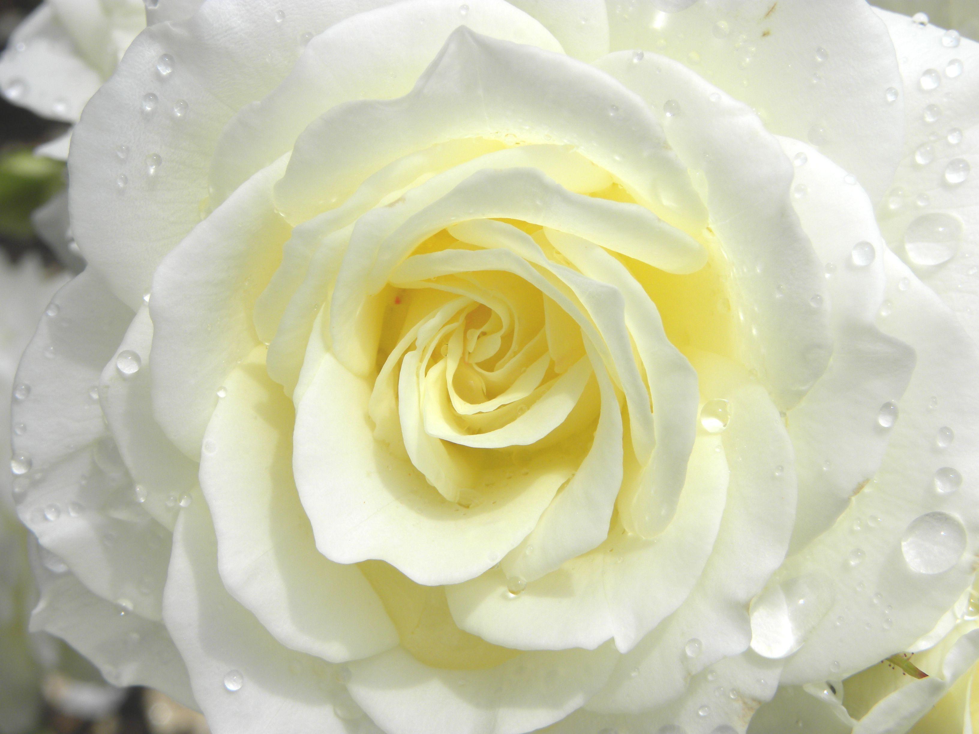 Красивая белая роза
