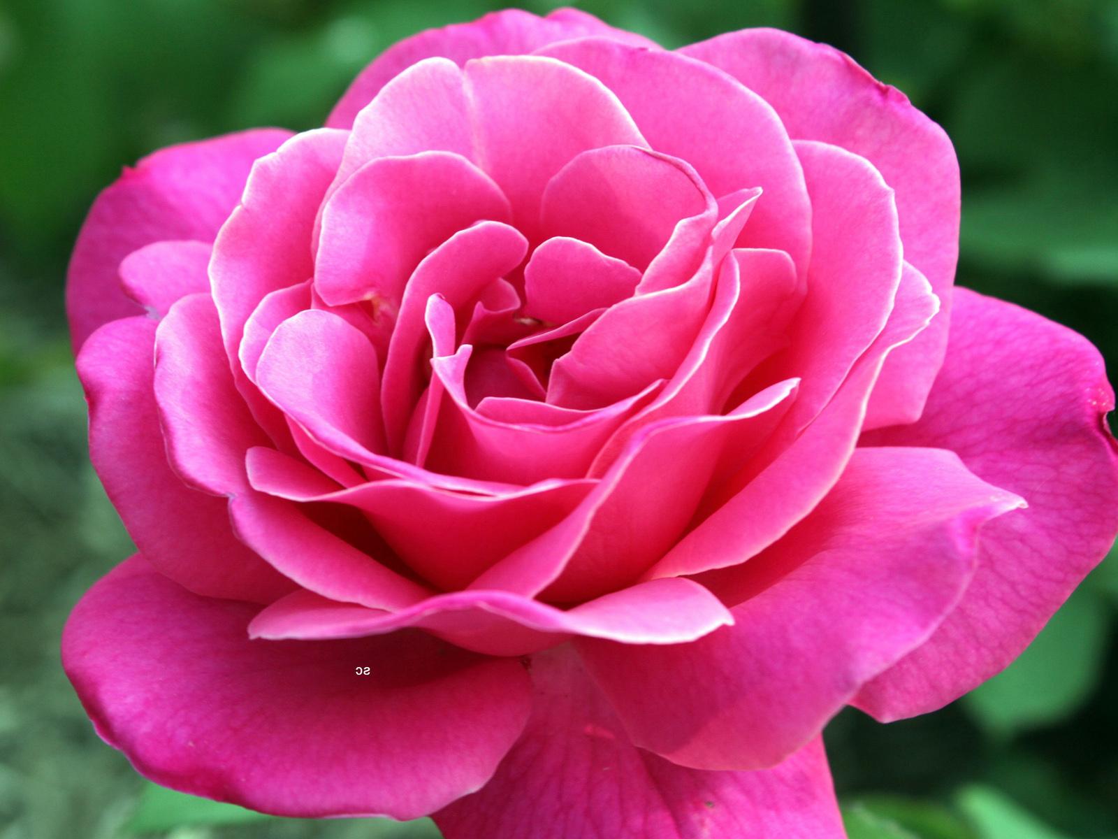 Обои на рабочий стол живые розы