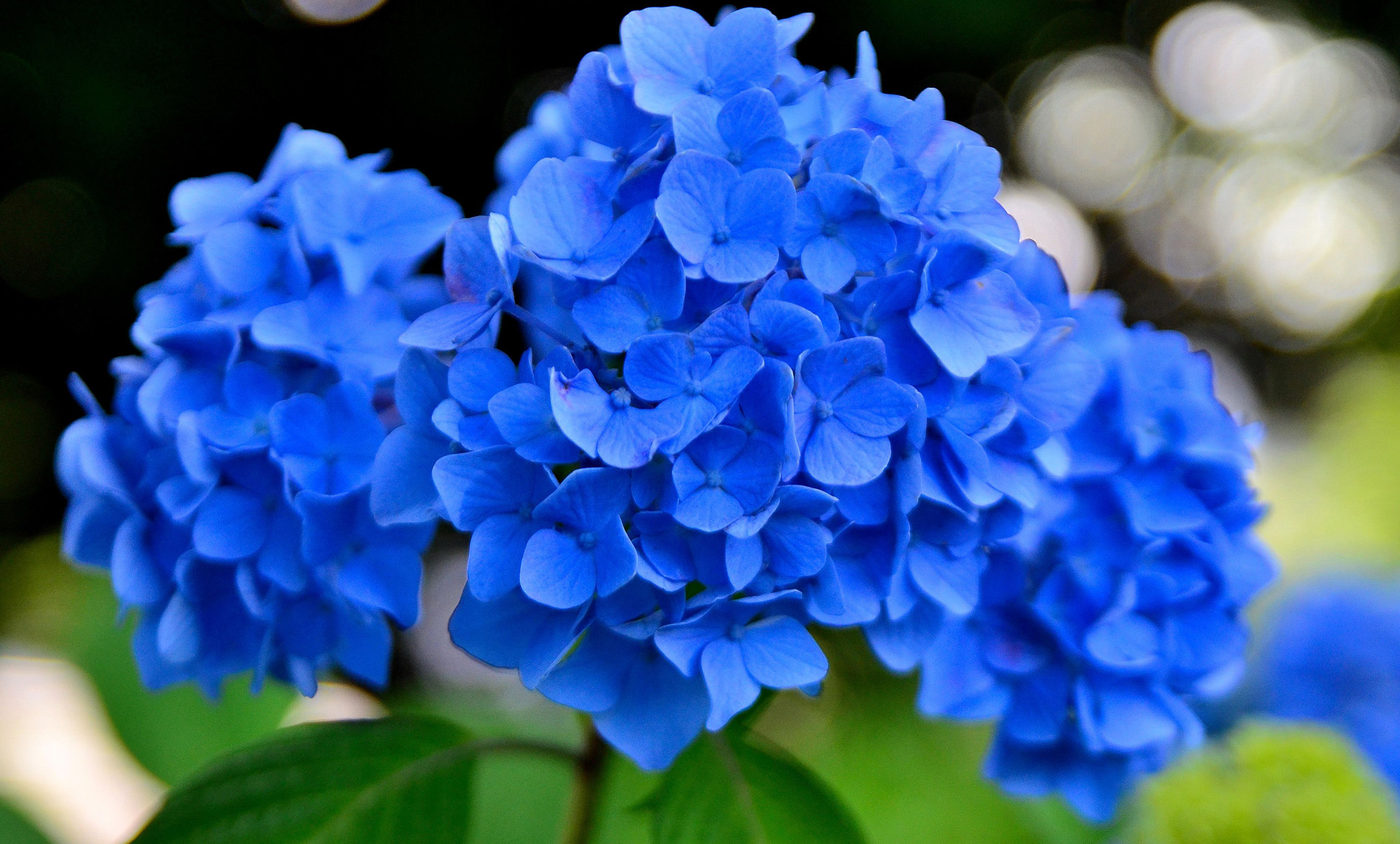 Фото цветов голубого цвета
