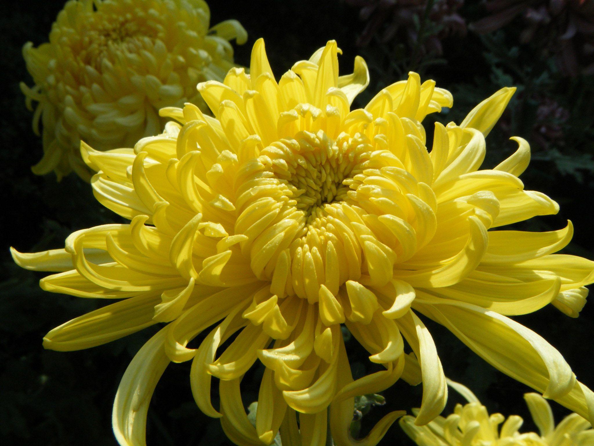 Хризантема сорта с фото и названиями технологии